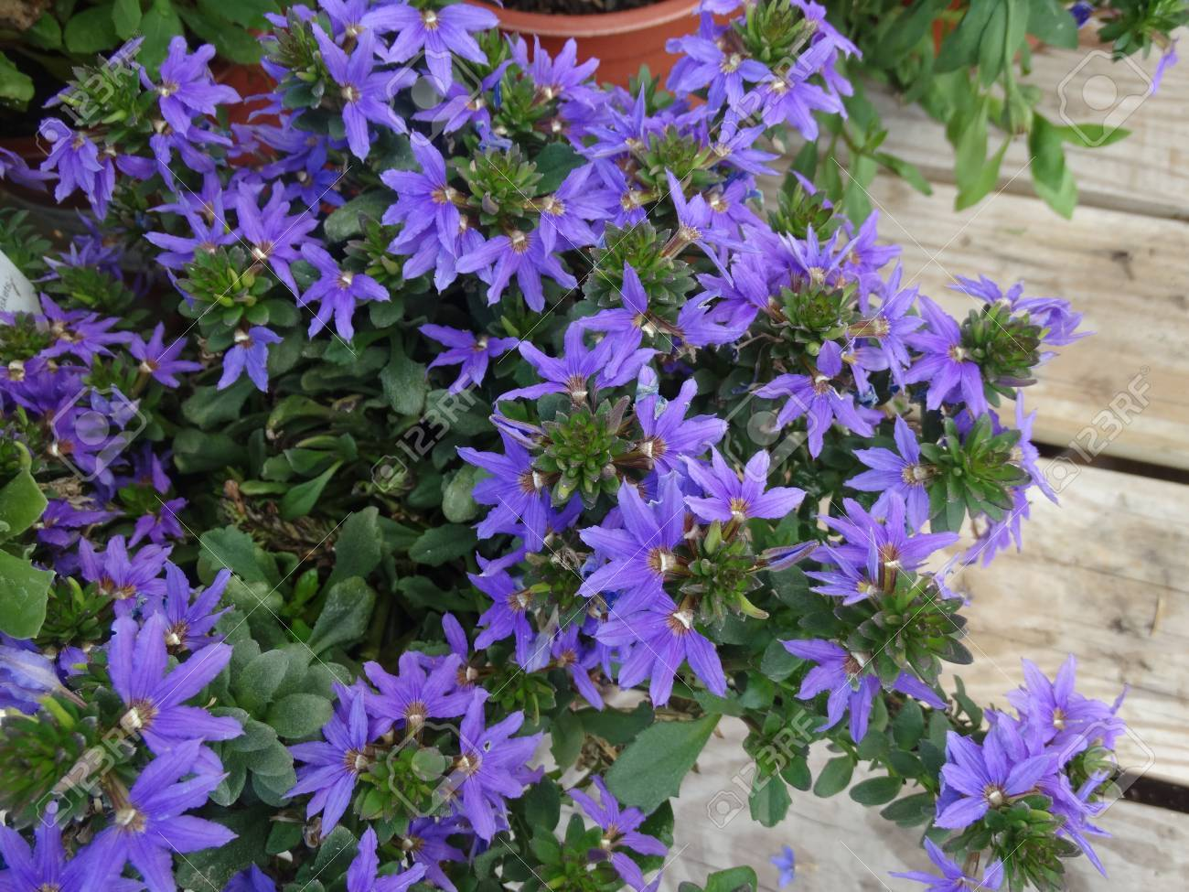 Scaevola aemula top pot blue top pot blue scaevola perennial scaevola aemula top pot blue top pot blue scaevola perennial herb with mounding spreading izmirmasajfo