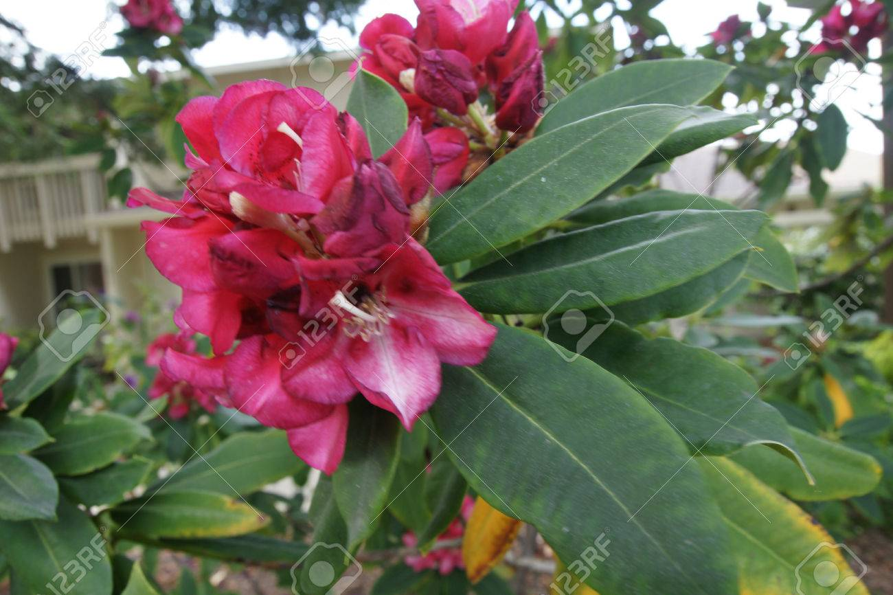 Red rhododendron evergreen shrub to small tree with elliptic red rhododendron evergreen shrub to small tree with elliptic lanceolate thick leaves and red flowers mightylinksfo