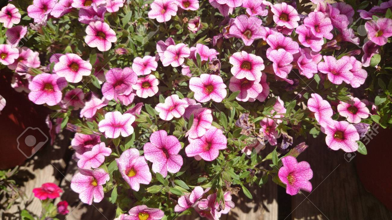 Calibrachoa Cabaret Pink Vein, Cabaret Pink Vein Calibrachoa, annual bedding plant with green leaves and trumpet shaped pink flowers with darker veins and dark centre - 34276411