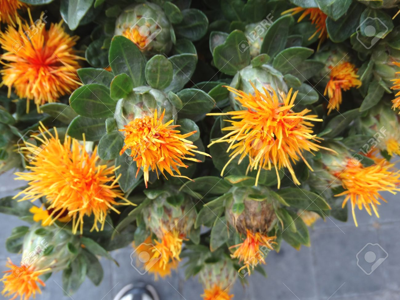 Safflower Carthamus Tinctorius Cultivated Herbaceous Plant Stock Photo Picture And Royalty Free Image Image 34664128