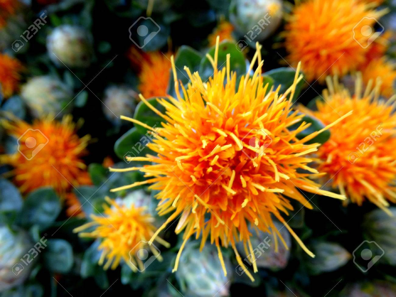 Safflower Carthamus Tinctorius Cultivated Herbaceous Plant Stock Photo Picture And Royalty Free Image Image 34694484