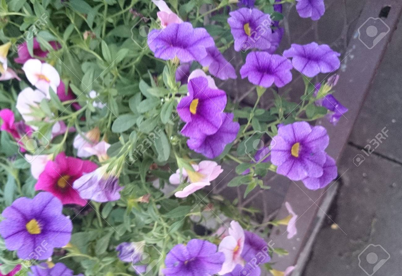 Calibrachoa Aloha Purple Mini Petunia Like Flowers Purple Flowers