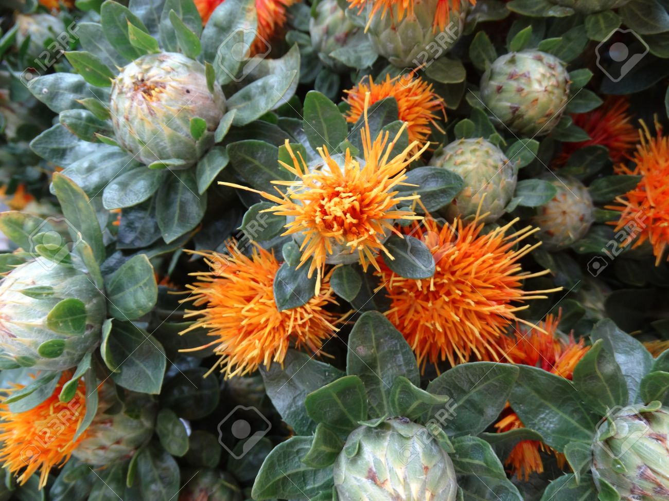 safflower carthamus tinctorius cultivated herbaceous plant with thistle like leaves and orange yellow heads