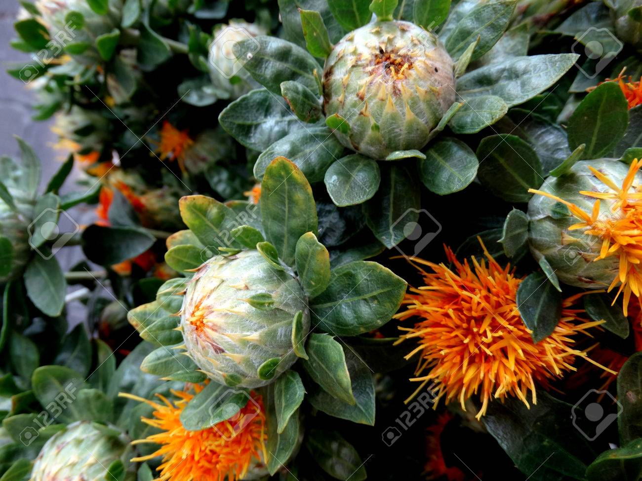 Safflower Carthamus Tinctorius Cultivated Herbaceous Plant Stock Photo Picture And Royalty Free Image Image 34771195