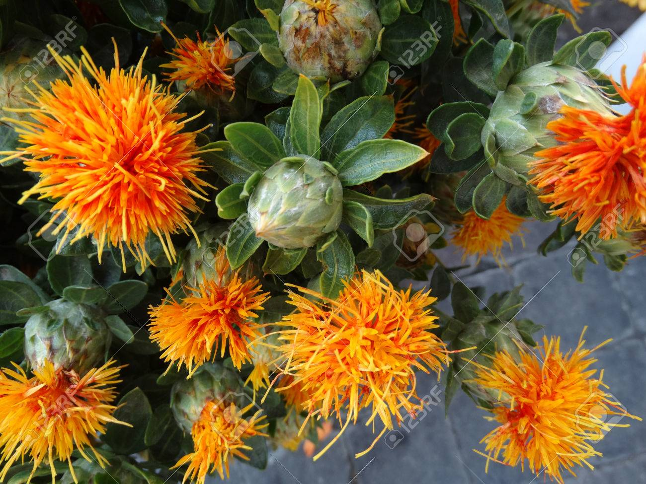 Safflower Carthamus Tinctorius Cultivated Herbaceous Plant Stock Photo Picture And Royalty Free Image Image 34771197