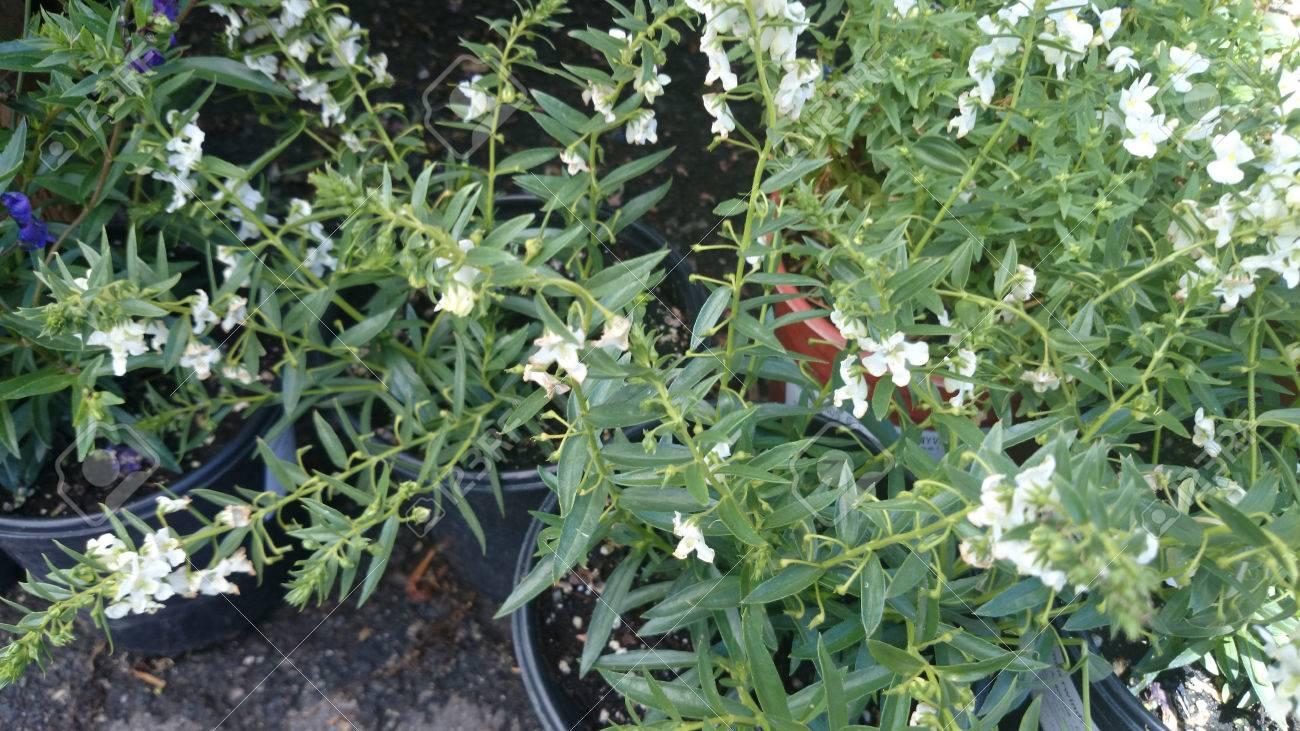 Angustifolia Angelonia Carita Blanca Vagamente Ramificacion Hierba