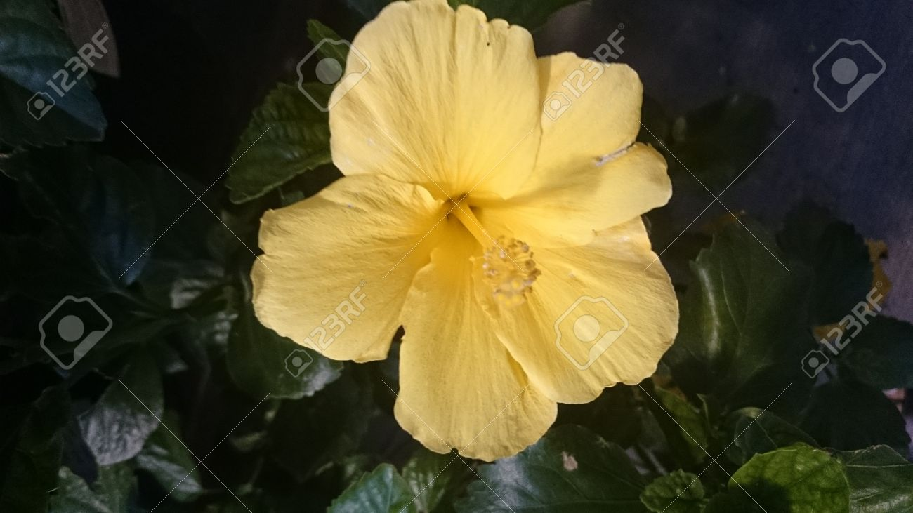 Hibiscus Rosasinensis Butterfly Evergreen Shrub With Glossy Stock