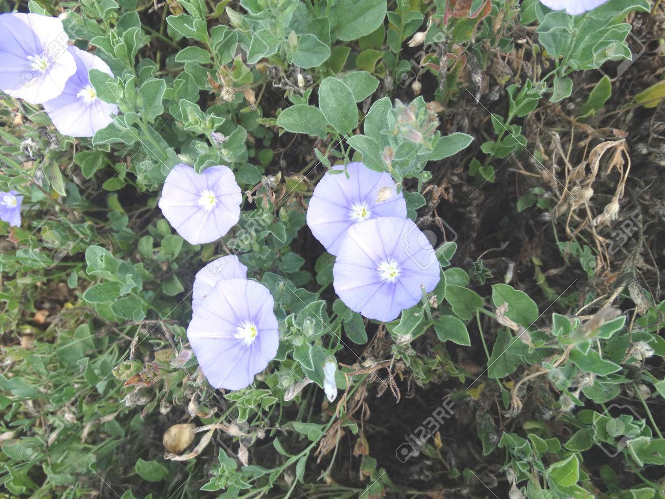 Ground morning glory convolvulus mauritanicus perennial low ground morning glory convolvulus mauritanicus perennial low growing ground cover plant with trailing branches izmirmasajfo