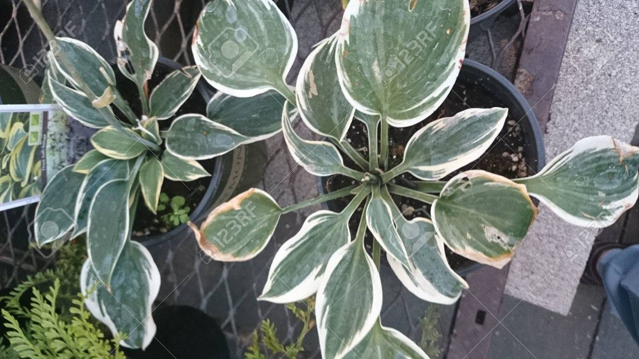 Hosta Ben Vernooij Cultivar With Broad Green Leaves With Broad