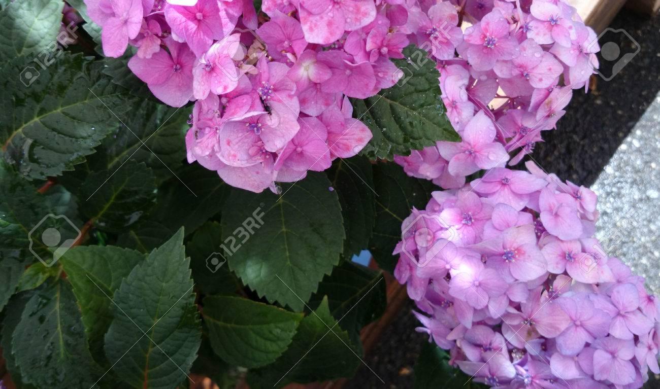 Hydrangea Macrophylla Pink Pink Big Leaf Hydrangea Ornamental
