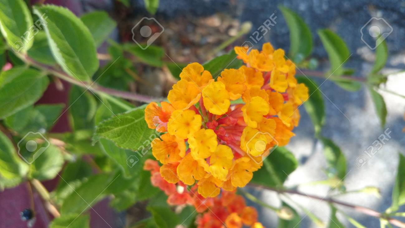 Lantana Camara, Low Shrub With Opposite Green Leaves And Orange ...