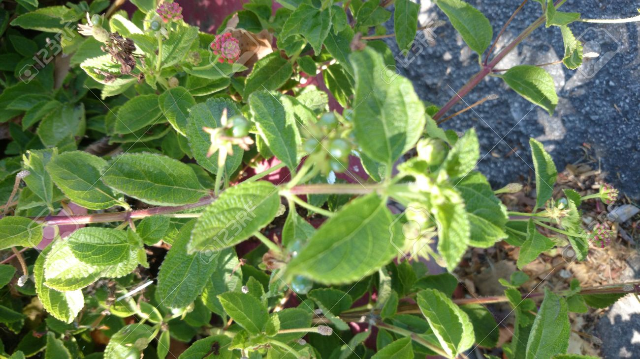 Lantana Camara, Low Shrub With Opposite Green Leaves And Orange ...