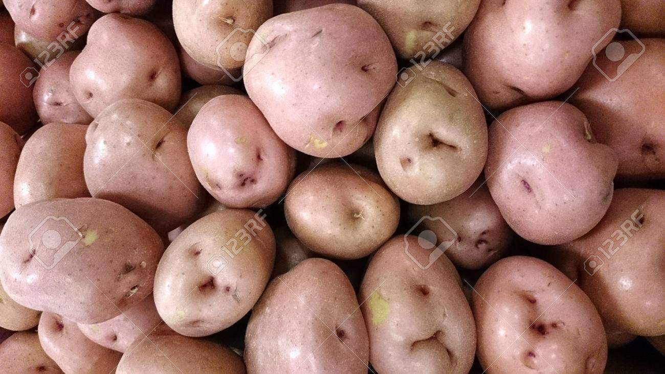 Red Potato Solanum Tuberosum Dakota Chief A Cultivar With