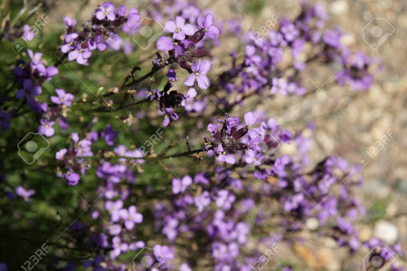 Erysimum Linifolia Shrubby Perennial With Narrow Linear Leaves