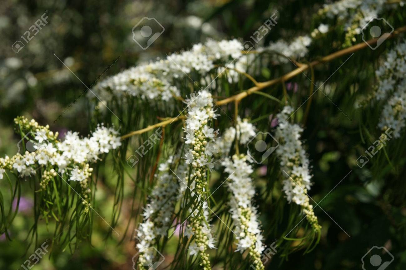 Christmas Bush Tree Australia.Victorian Christmas Bush Prostanthera Lasianthos Small Tree