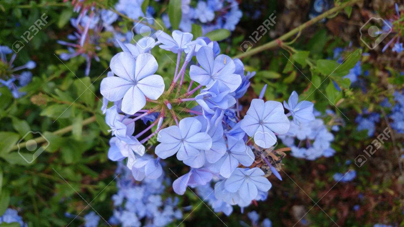 Plumbago Auriculata Blue Plumbago Evergreen Scandent Shrub Stock