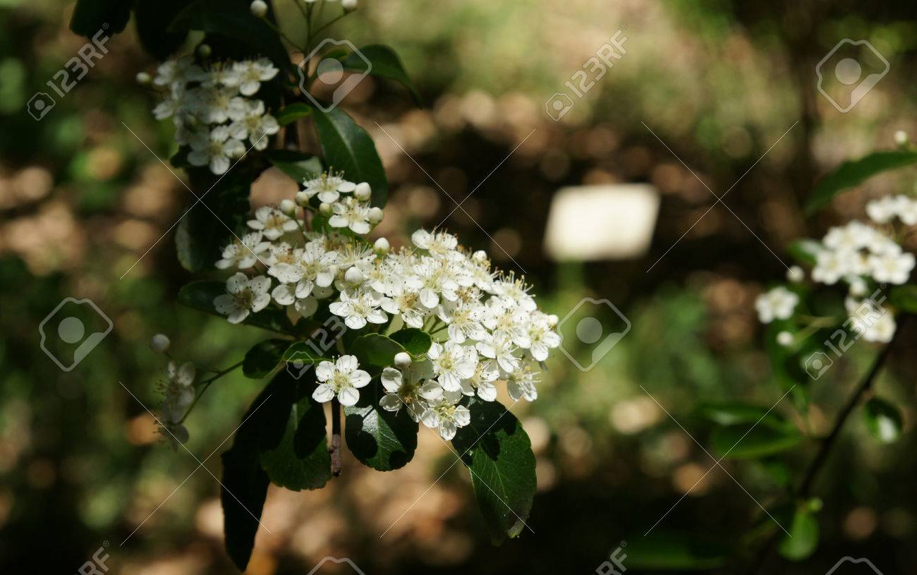 Pyracantha fortuneana evergreen shrub with narrowly oblanceolate pyracantha fortuneana evergreen shrub with narrowly oblanceolate crenate leaves and white flowers in dense clusters mightylinksfo