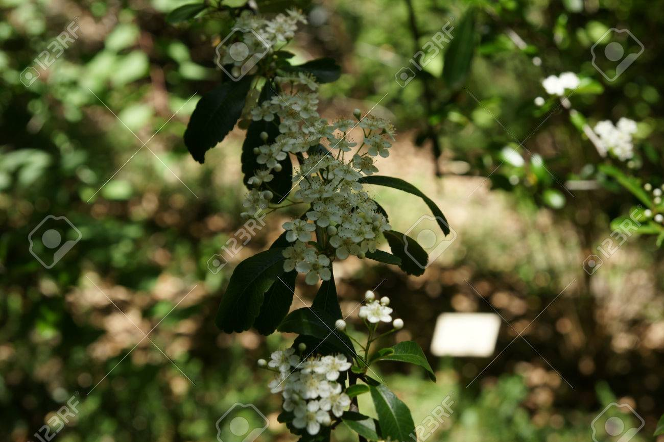 Pyracantha Fortuneana Evergreen Shrub With Narrowly Oblanceolate