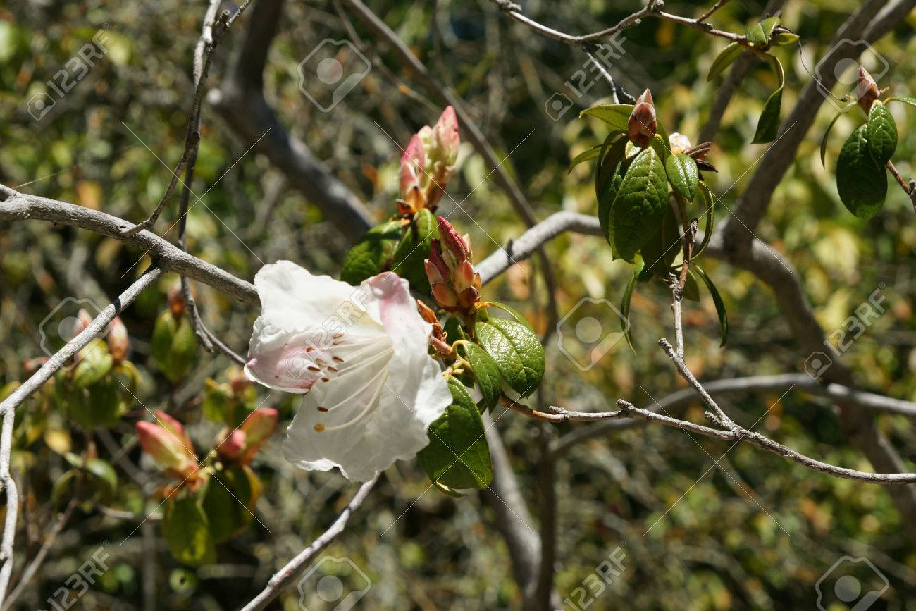 Rhododendron Cv Fragrantissimum Hybrid Cultivar Evergreen Shrub