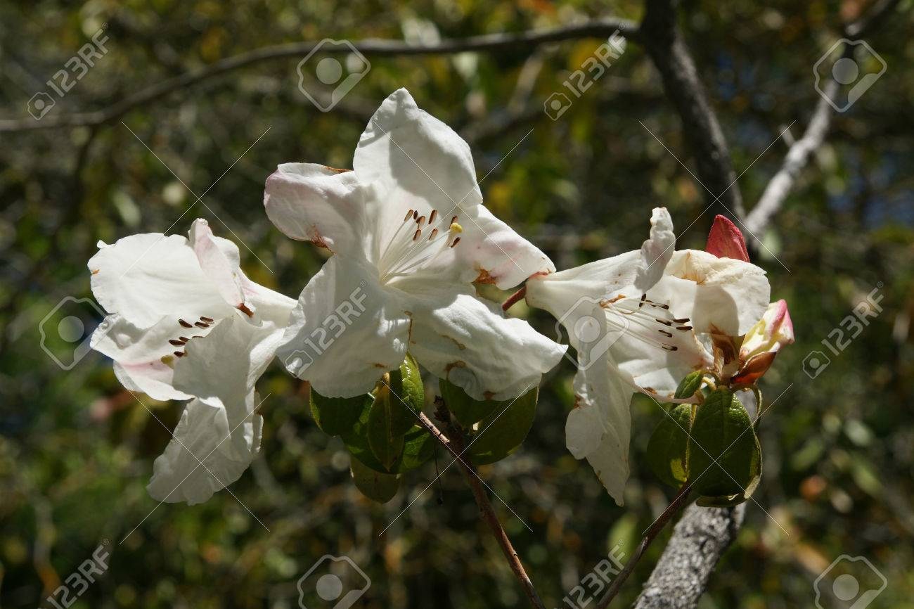 Rhododendron cv fragrantissimum hybrid cultivar evergreen shrub rhododendron cv fragrantissimum hybrid cultivar evergreen shrub with white fragrant flowers flushed with pink mightylinksfo