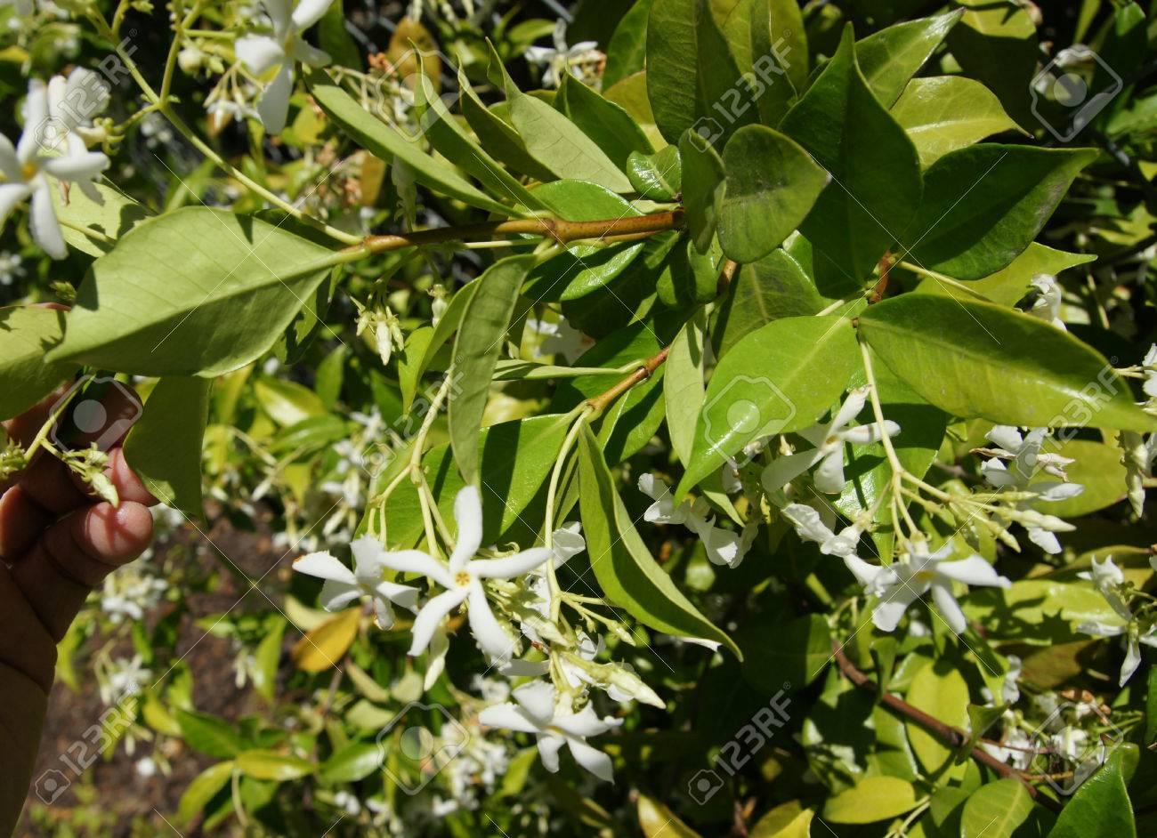 Star Jasmine Trachelospermum Jasminoides Evergreen Woody Liana