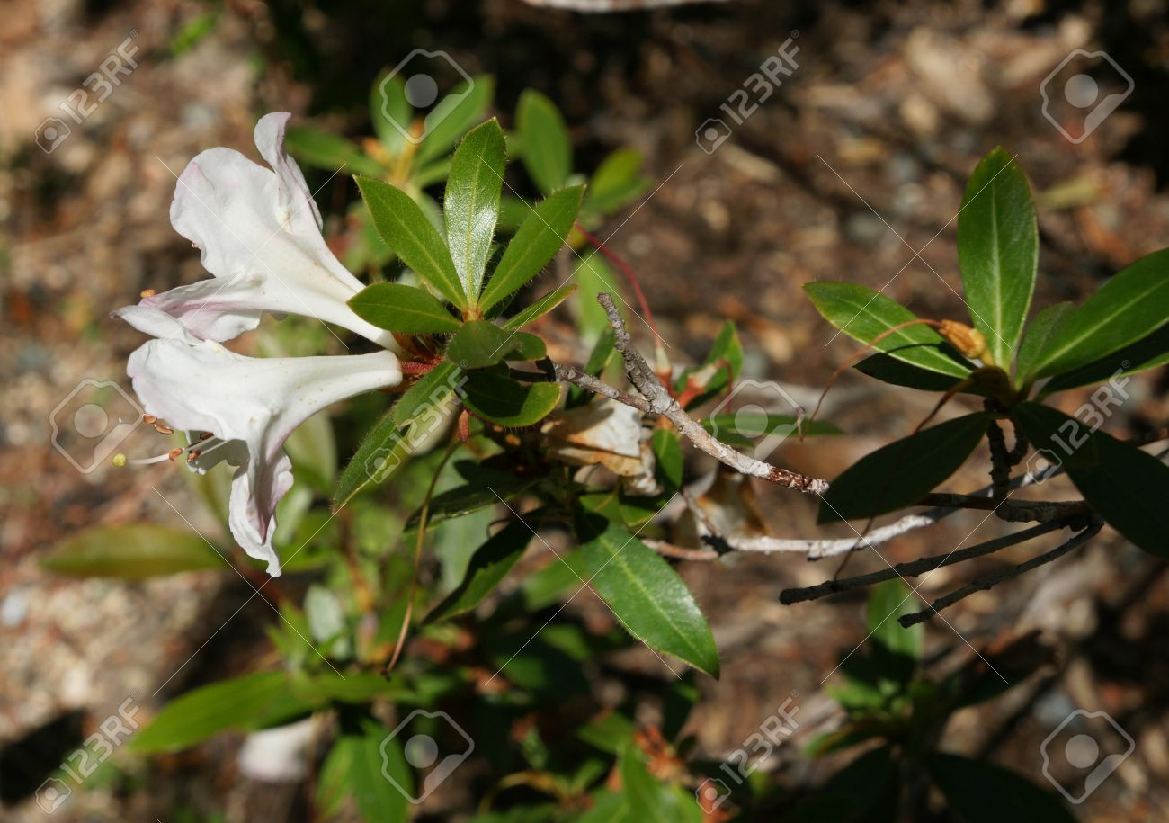 Rhododendron formosum small evergreen shrub with leaves bristly rhododendron formosum small evergreen shrub with leaves bristly when young green above and white mightylinksfo