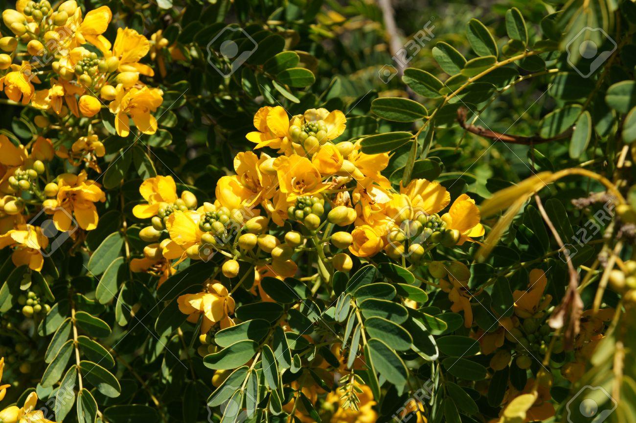 Golden senna senna candolleana golden cassia small tree with golden senna senna candolleana golden cassia small tree with pinnate leaves with several mightylinksfo