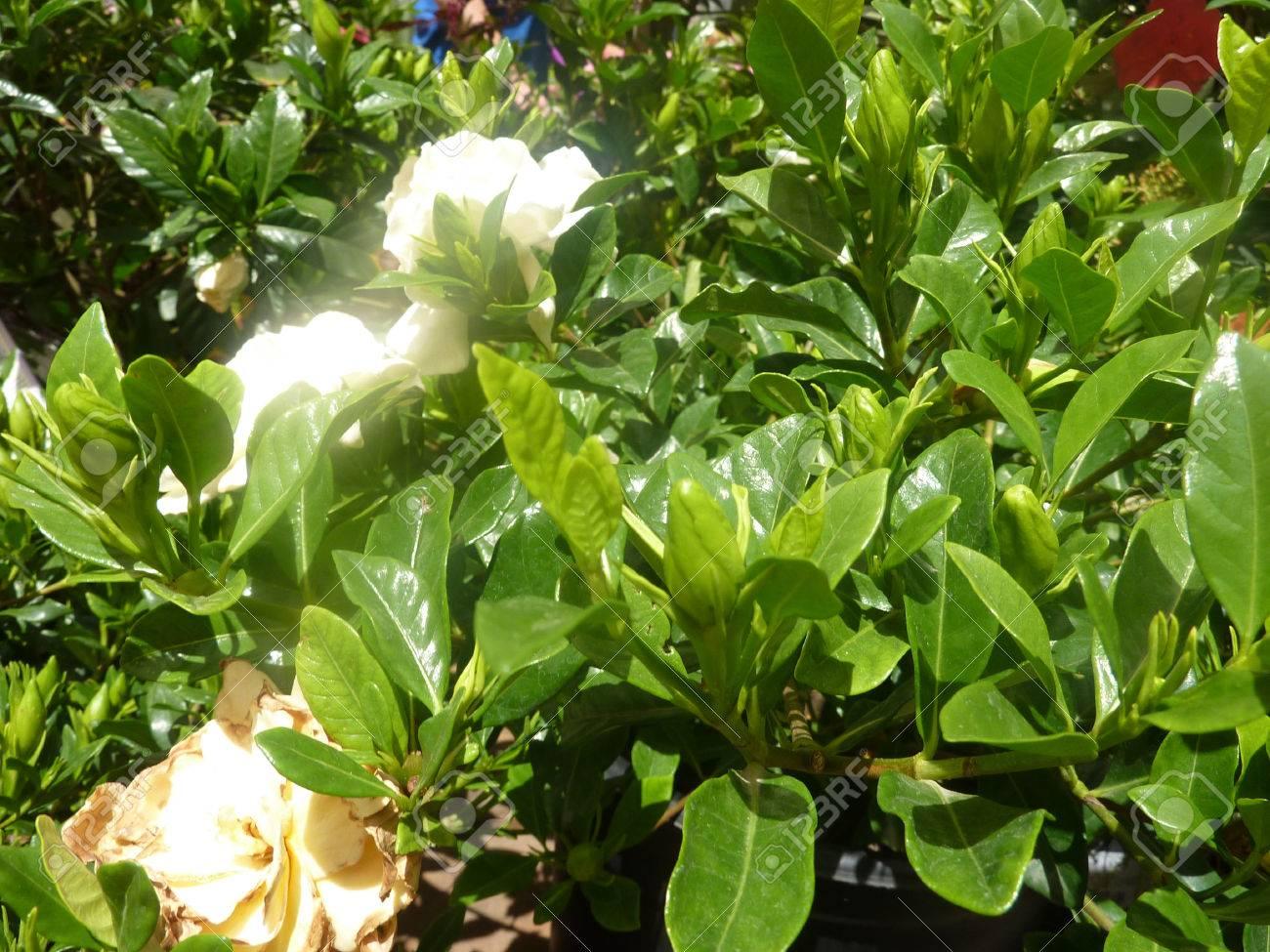 Gardenia jasminoides Veitchii, Everblooming Gardenia, small evergreen..