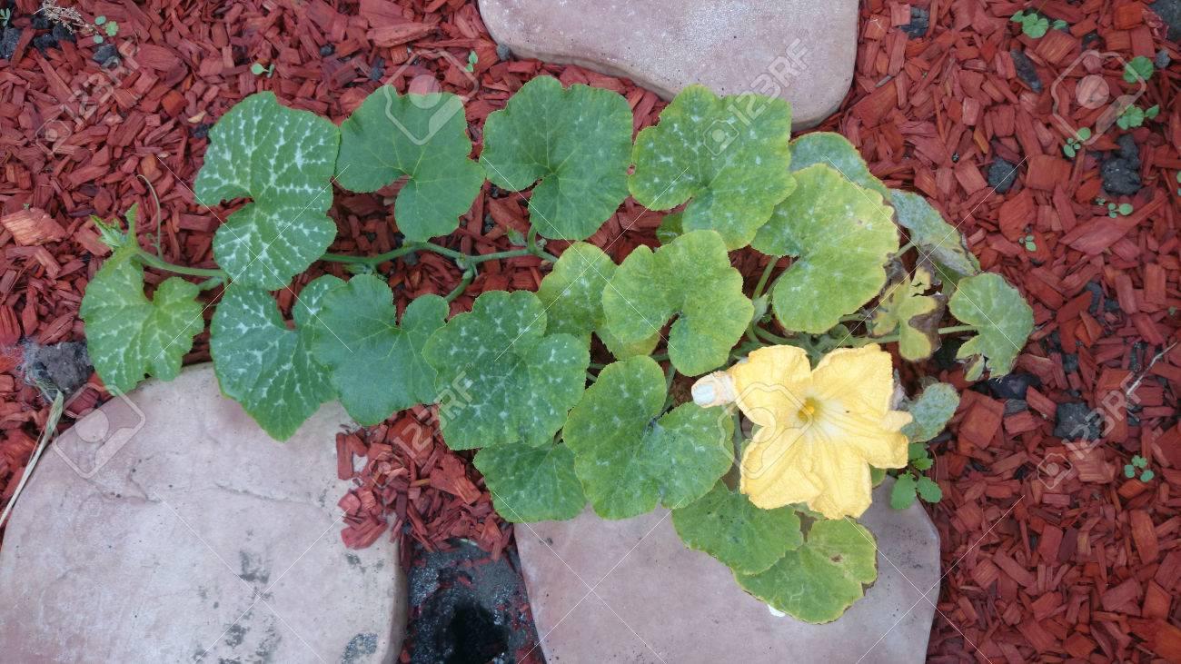 Cucurbita Moschata Hierba Cultivada Con Zarcillos Amarillo Flores