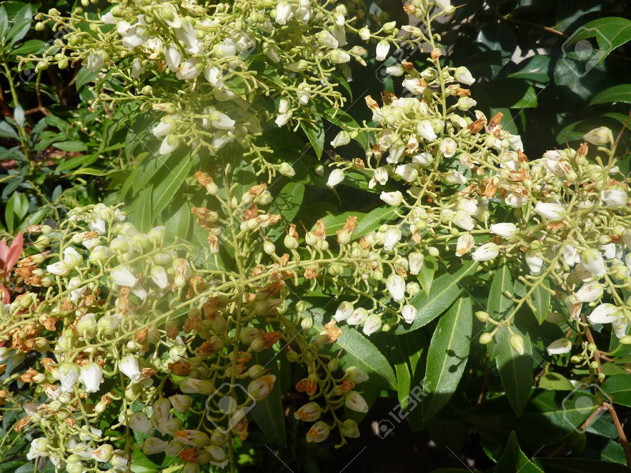 Pieris Japonica Prelude Prelude Lily Of The Valley Evergreen