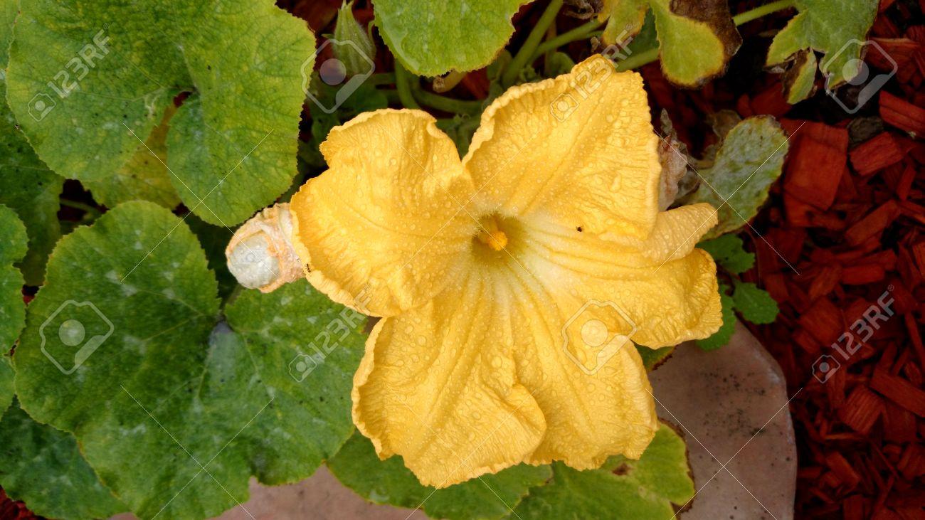 カボチャ モスカタ、蔓、黄色の...