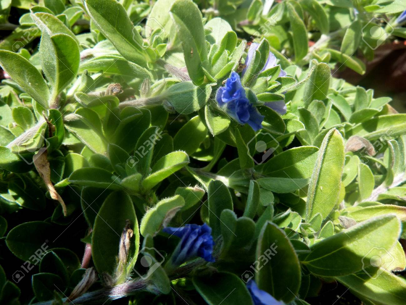 Evolvulus glomeratus hawaiian blue eyes perennial herb grown evolvulus glomeratus hawaiian blue eyes perennial herb grown as ground cover and basket plant with izmirmasajfo