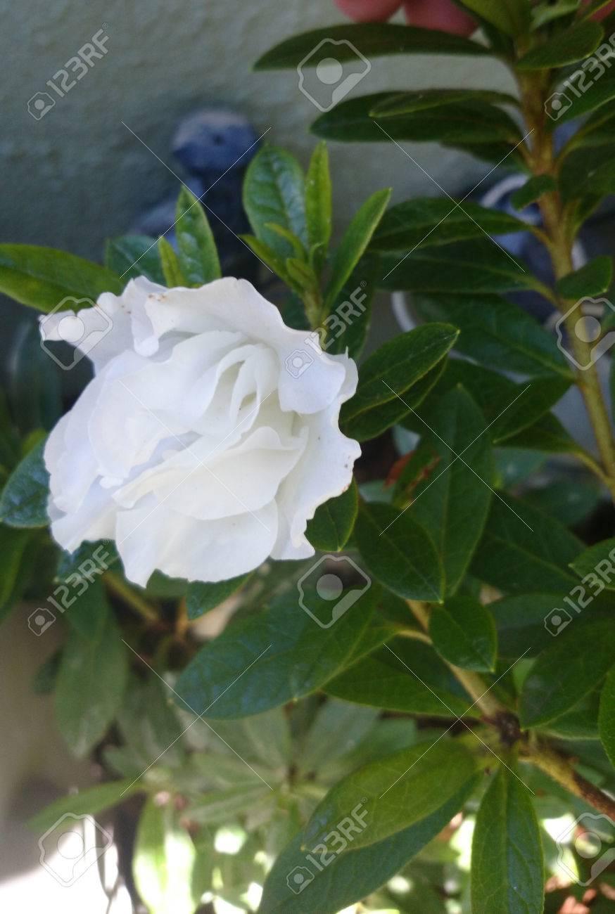 Gardenia Jasminoides Cape Jasmine Evergreen Shrub With Shining