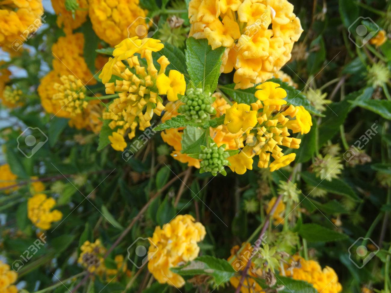 Lantana camara gold mound low growing evergreen shrub with dark lantana camara gold mound low growing evergreen shrub with dark green foliage and nearly mightylinksfo