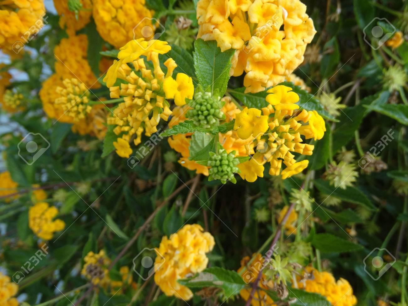 Lantana Camara Gold Mound Low Growing Evergreen Shrub With Stock