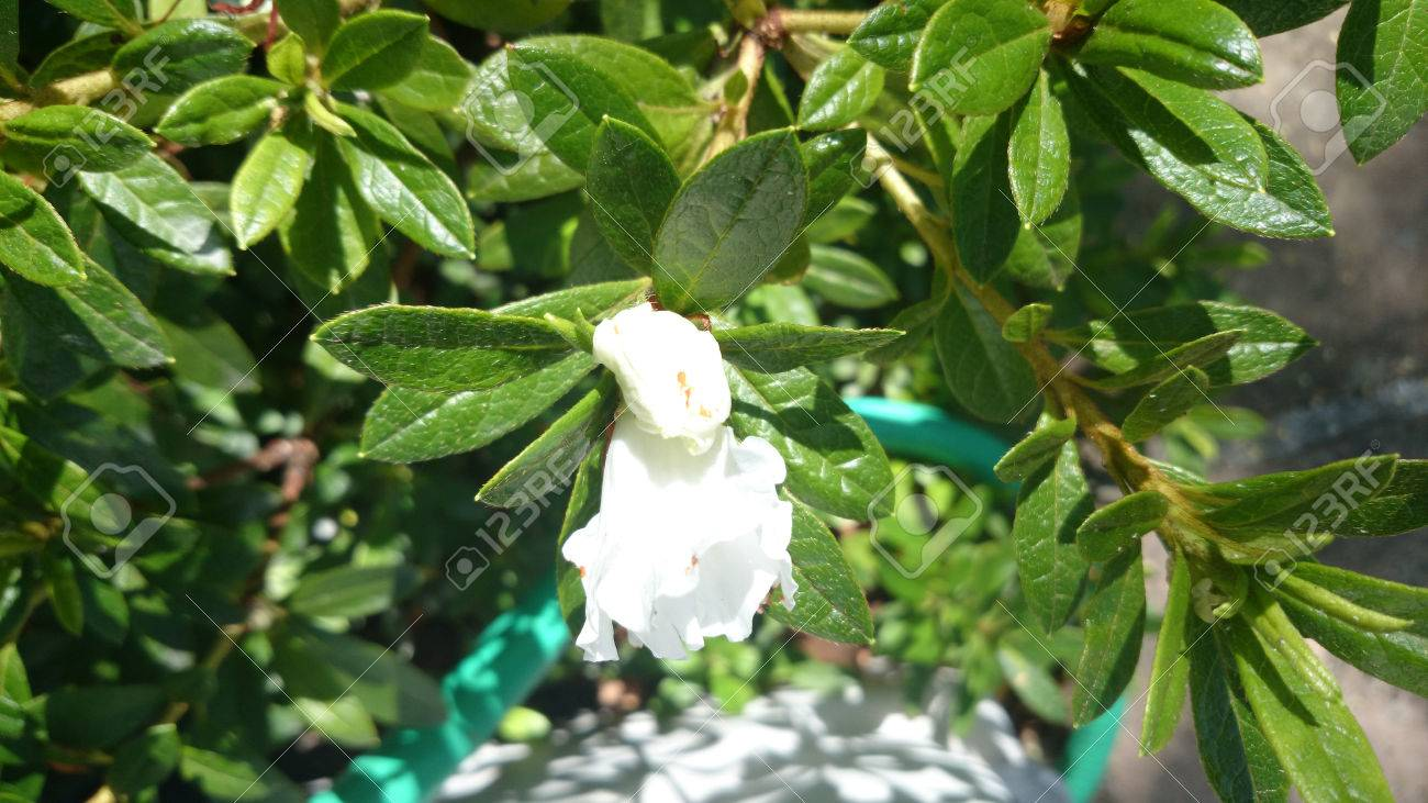Gardenia jasminoides cape jasmine evergreen shrub with shining gardenia jasminoides cape jasmine evergreen shrub with shining leaves and white fragrant flowers mightylinksfo