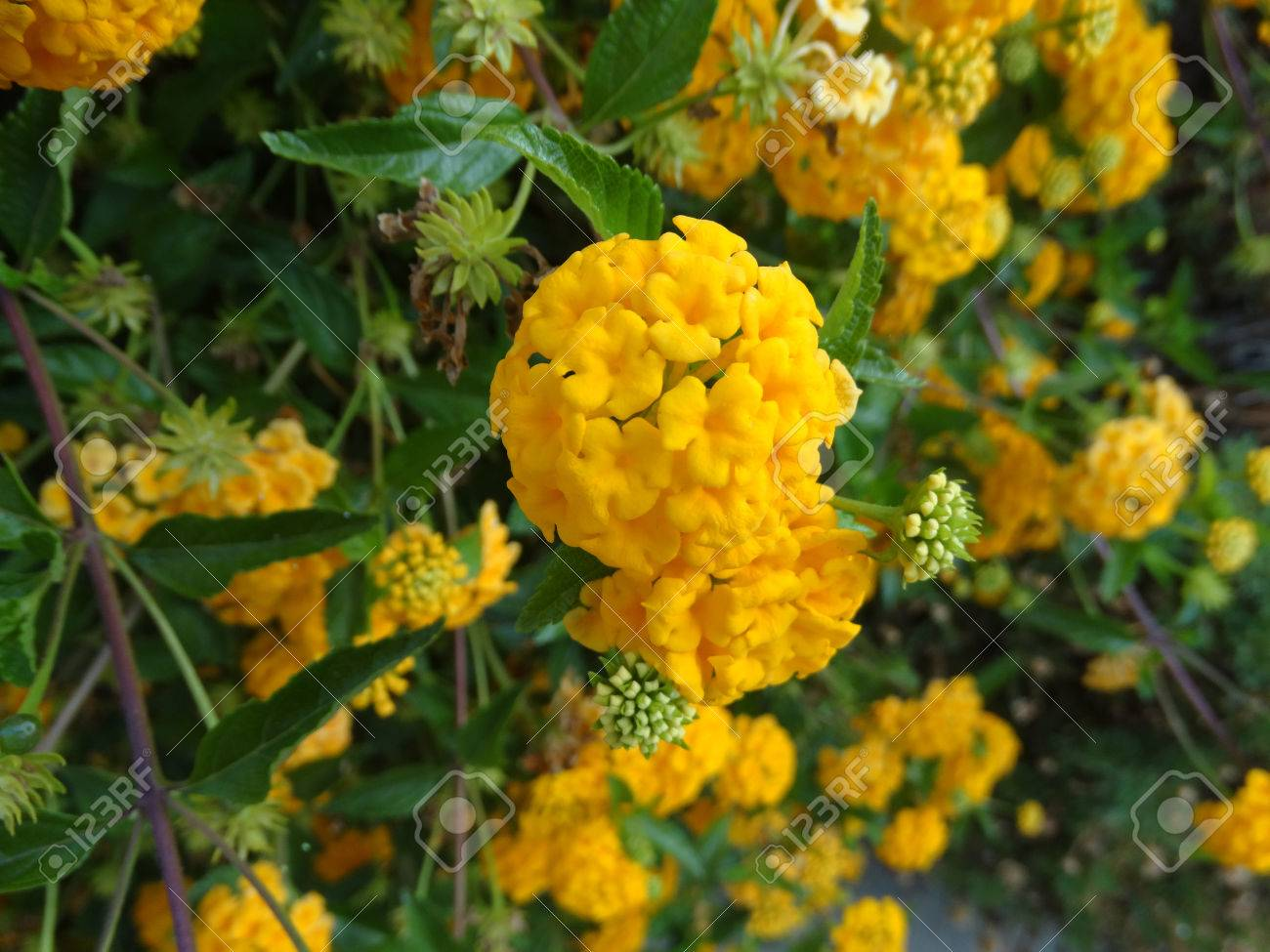 Lantana camara gold mound low growing evergreen shrub with stock lantana camara gold mound low growing evergreen shrub with dark green foliage and nearly mightylinksfo