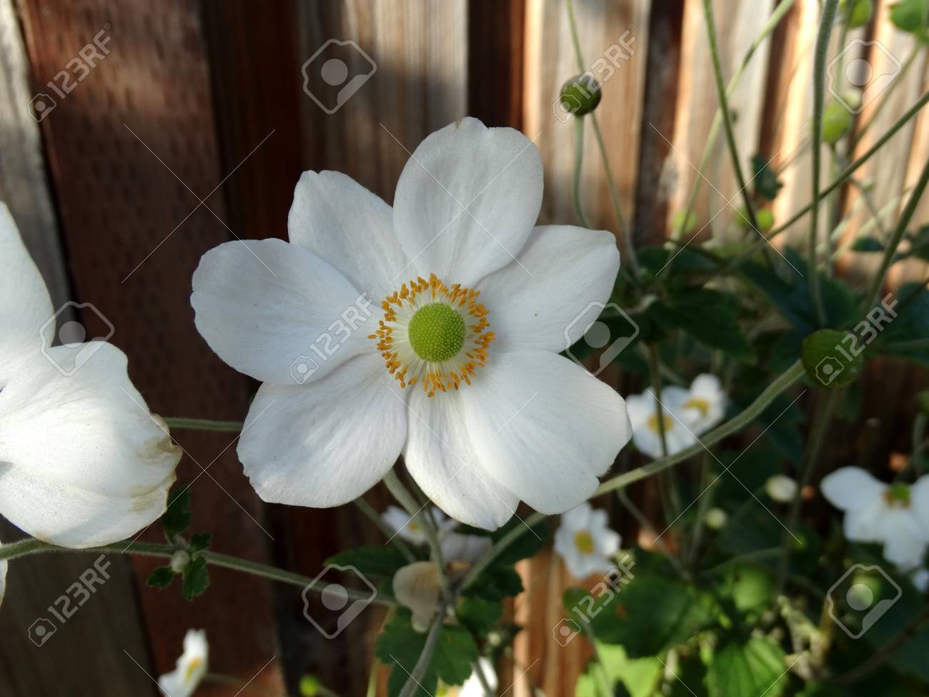 Anemone hybrida honorine jobert cultivar perennial up to 2 anemone hybrida honorine jobert cultivar perennial up to 2 m tall with ternate leaves mightylinksfo
