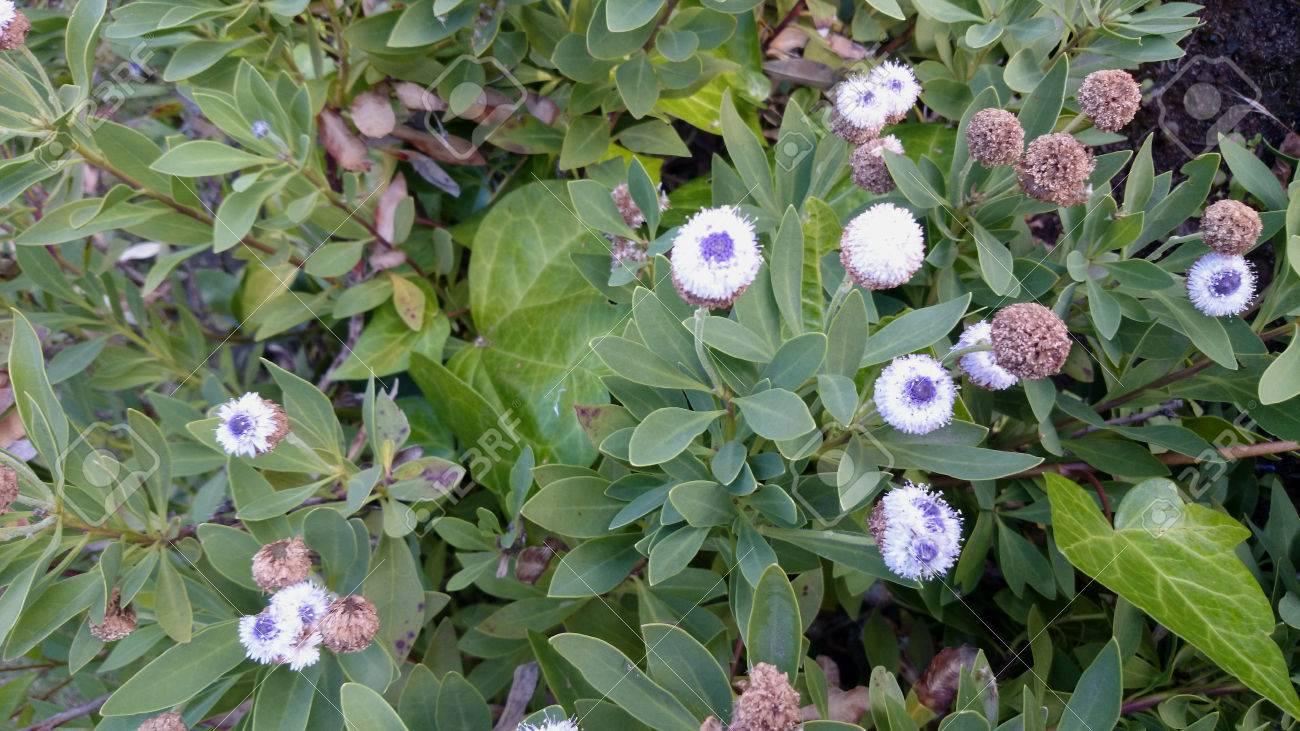 Globe Daisy Globularia Indubia Small Shrub With Green Lance