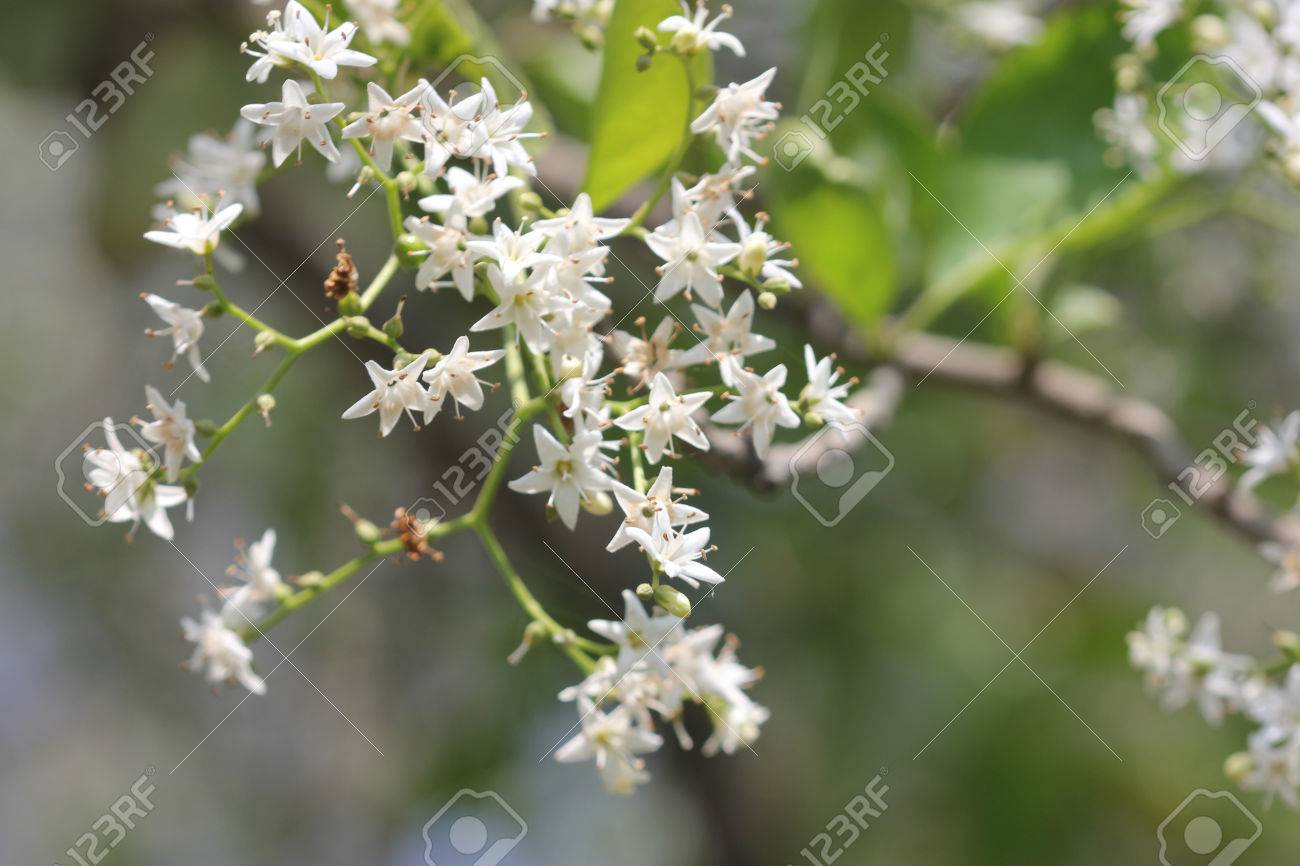 Ehretia laevis small tree with green leaves and small white flowers ehretia laevis small tree with green leaves and small white flowers on forked branched inflorescence stock mightylinksfo Image collections