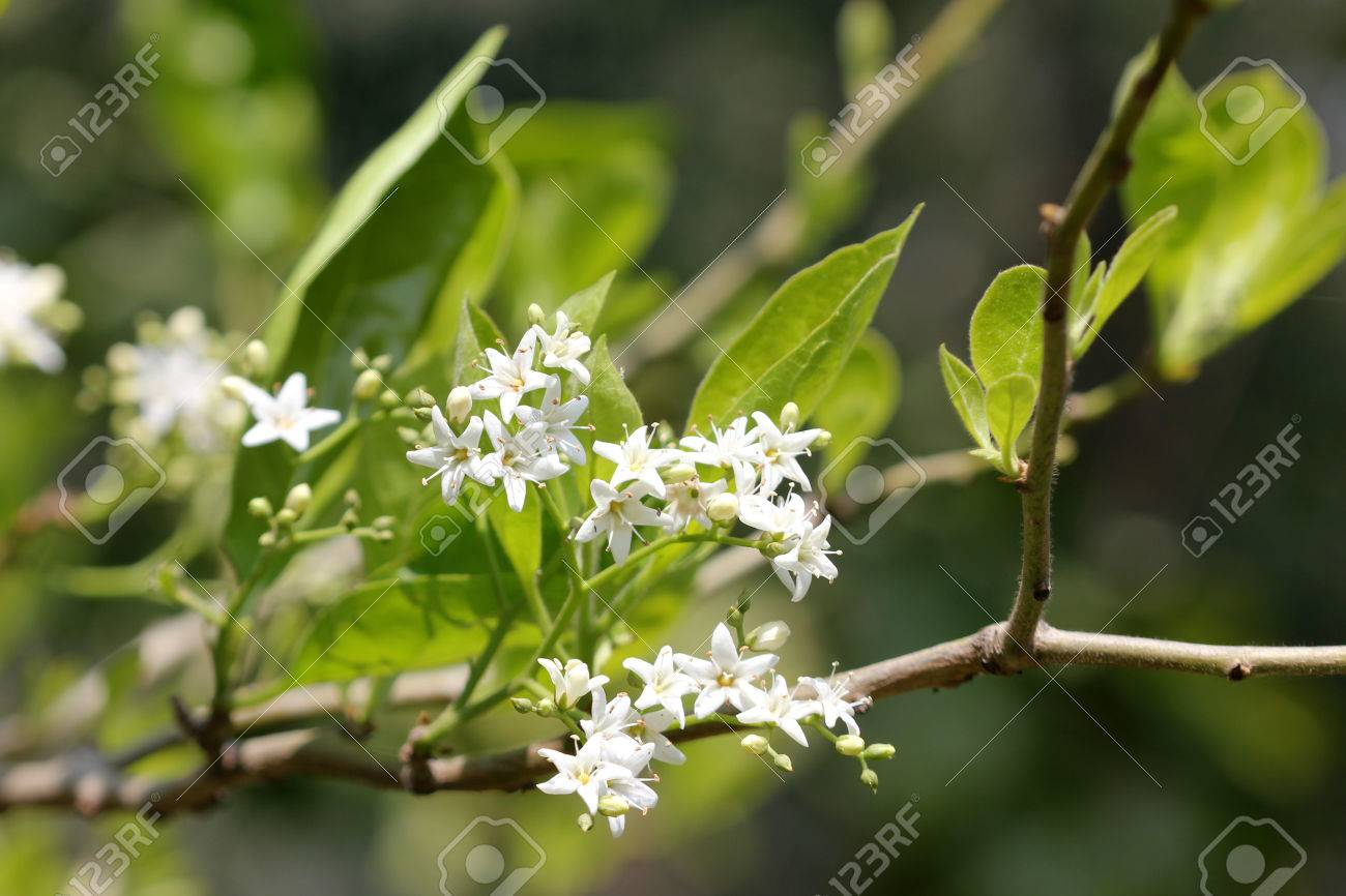 Ehretia Laevis Small Tree With Green Leaves And Small White Flowers