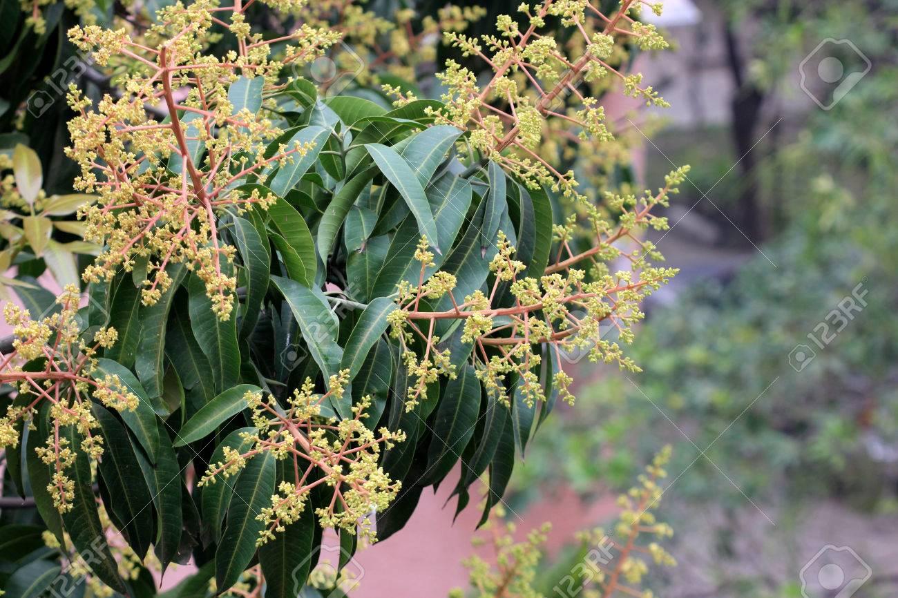 Mango Tree Mangifera Indica Evergreen Tree With Shining Green