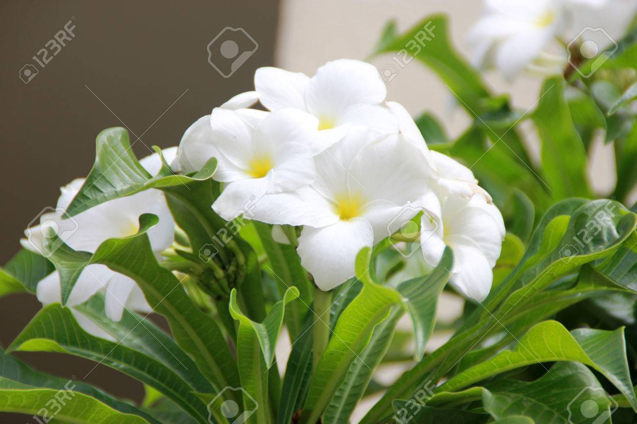 Plumeria pudica fiddle leaf plumeria or bridal bouquet shrub and white flowers with yellow centre plumeria pudica fiddle leaf plumeria or bridal bouquet shrub or small tree with mightylinksfo