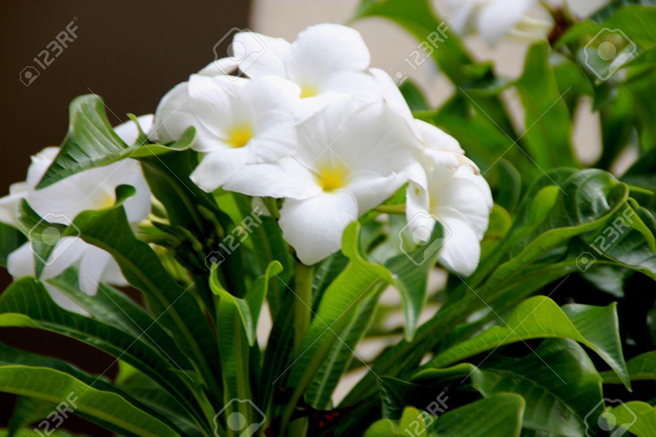 Plumeria Pudica Fiddle Leaf Plumeria Or Bridal Bouquet Shrub