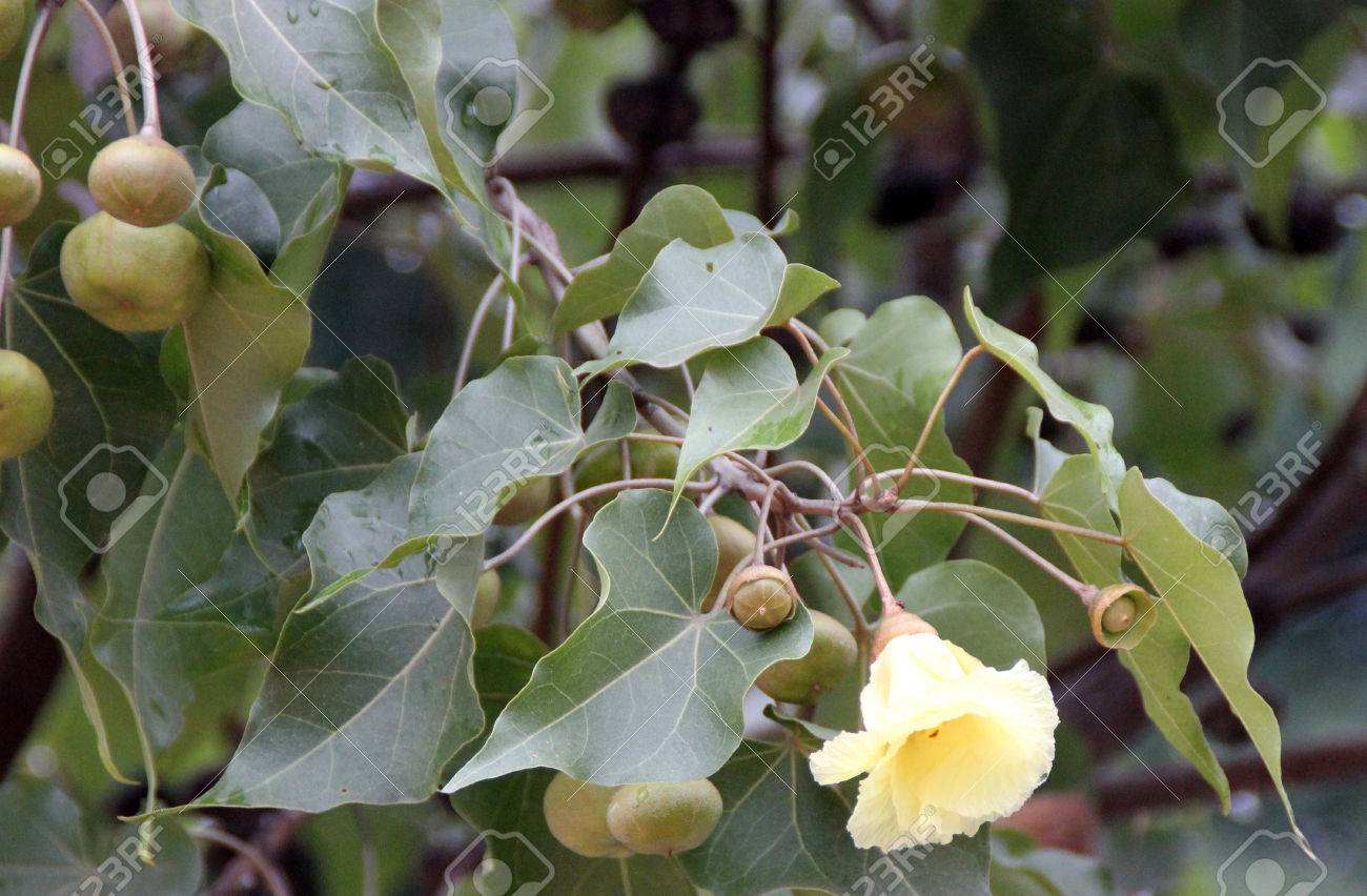 Thespesia Populnea Portia Tree Indian Tulip Tree Tree With