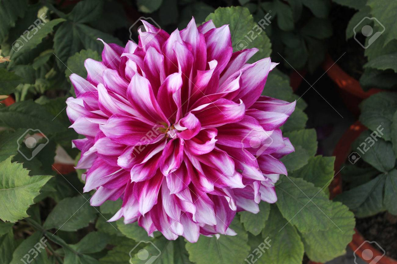 Dahlia Frost Nip Cultivar With Purple Flowers With White Tips