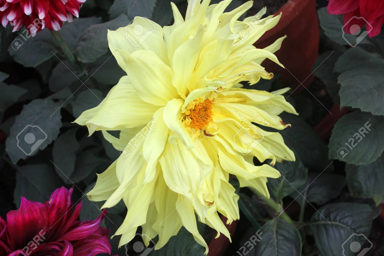 Dahlia cultivar with pale yellow flower heads tall herb with dahlia cultivar with pale yellow flower heads tall herb with tubers for propagation heads mightylinksfo Choice Image