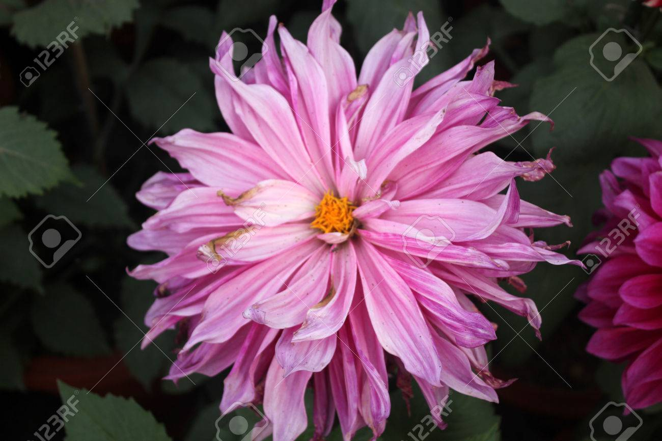 Dahlia Cultivar With Pink Flower Heads Tall Herb With Tubers