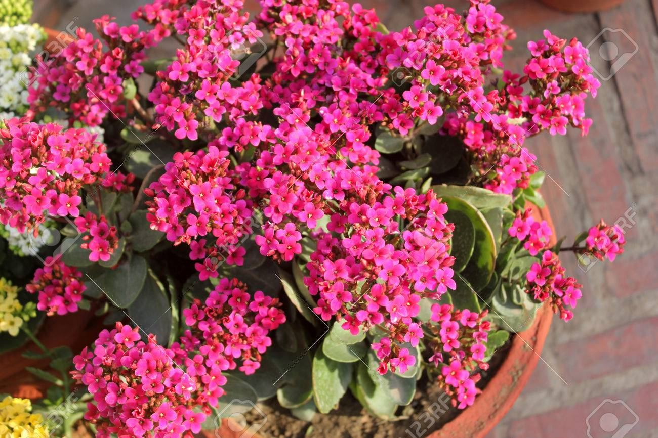 Kalanchoe Blossfeldiana Pink Ornamental Potted Plant With Succulent
