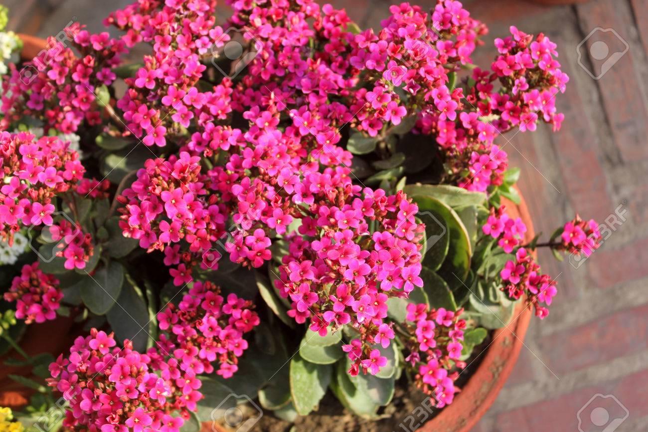 Pink Flowering Succulent Plants Choice Image Flower Decoration Ideas